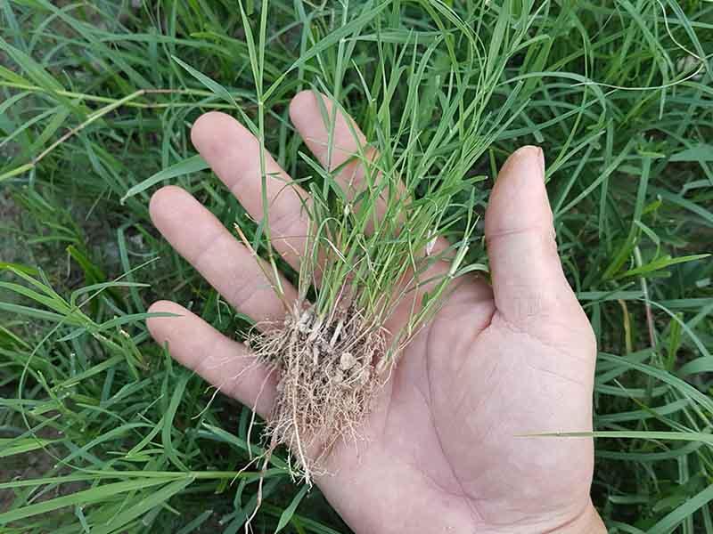 Bermudagrass là loại cỏ có thể sống tốt ở trên cát