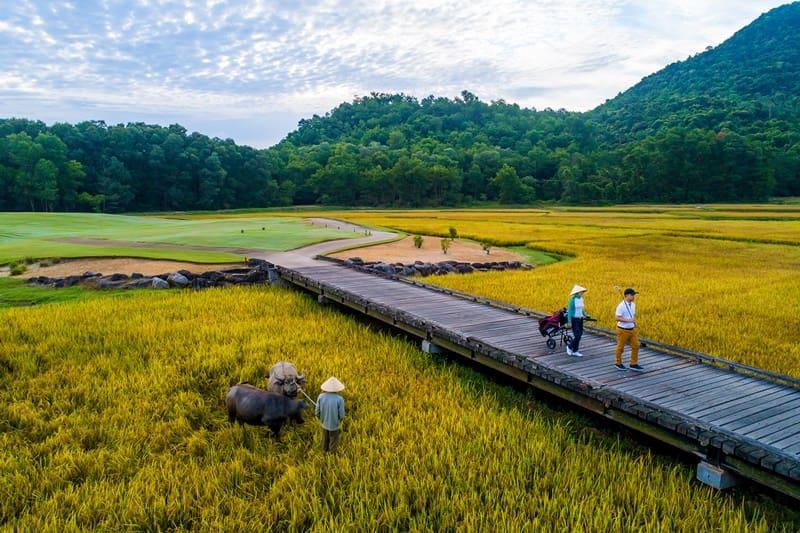 Nhờ kết hợp trồng lúa trong sân golf mà mỗi năm, Laguna Lăng Cô có thể thu hoạch gần 30 tấn gạo
